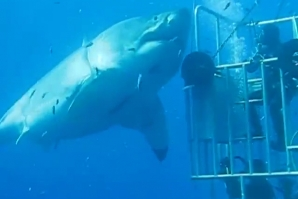 The biggest great white shark ever filmed?